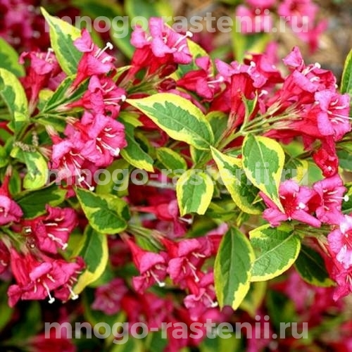 Вейгела цветущая Brigela