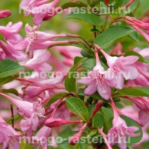 Вейгела цветущая Pink Prince