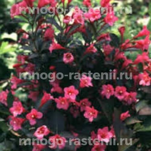 Вейгела цветущая Tango