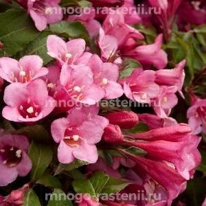 Вейгела цветущая Minuet
