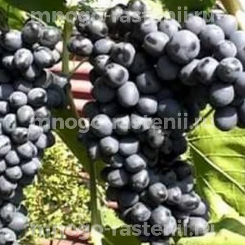 Виноград плодовый Юпитер