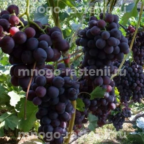 Виноград плодовый Оленьевский