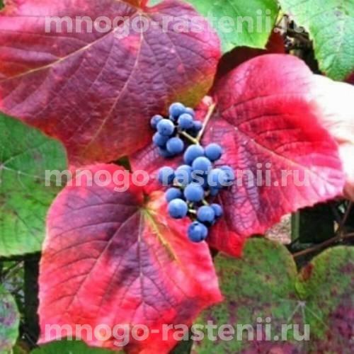 Виноград прибрежный Kuane