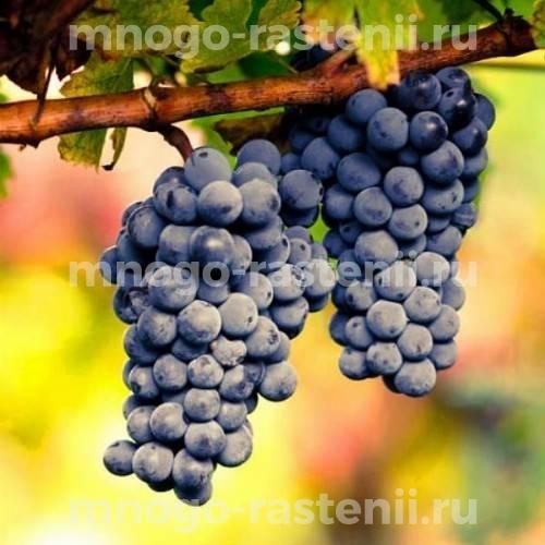 Виноград плодовый Левокумский