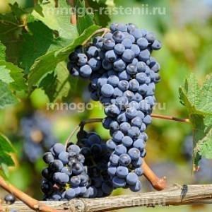 Виноград культурный Тамгеосим