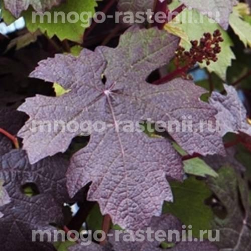 Виноград культурный Purpurea