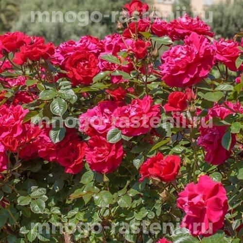 Роза Гримпант Кассандр