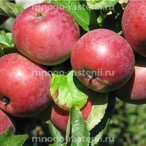 Яблоня Алеся (Олеся)