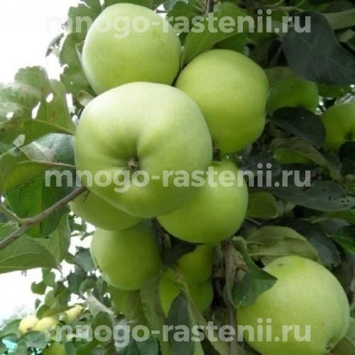Яблоня Антоновка