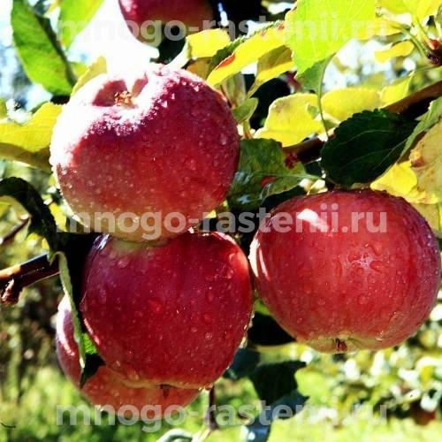 Яблоня Апорт Кроваво-красный