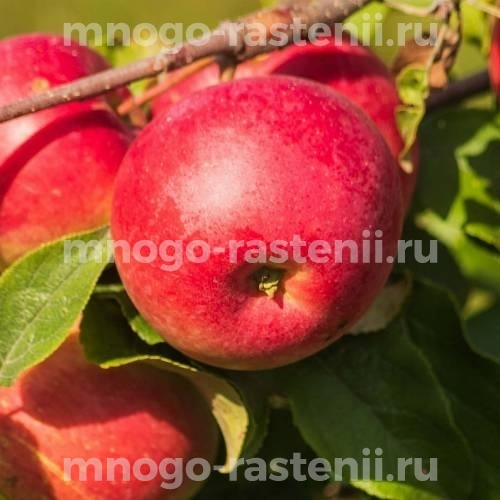 Яблоня Беркутовское