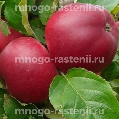 Яблоня Веньяминовское (Веньяминовская)