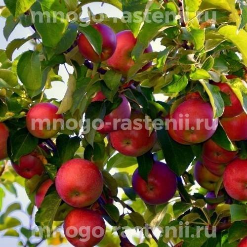 Яблоня Вишневое (Вишневая)