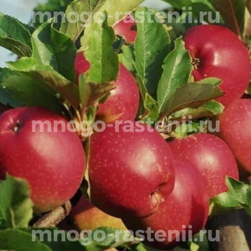 Яблоня Коваленковское (Красное сладкое)