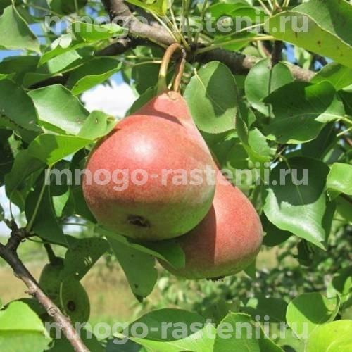 Саженцы груша Кокинская