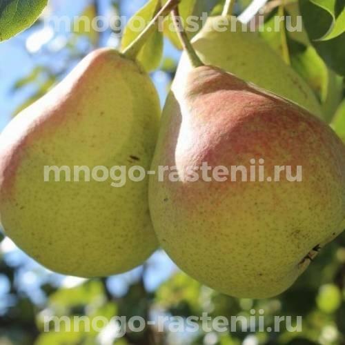Груша Лесная красавица