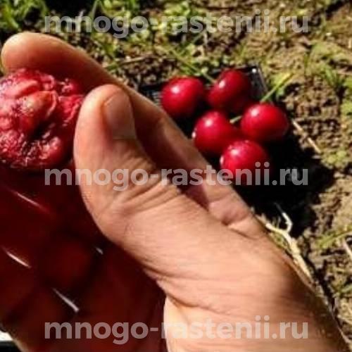 Черешня Мелитопольская