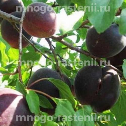 Абрикос обыкновенный Черный бархат