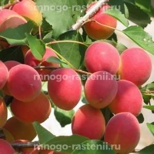 Абрикос обыкновенный Саратовский Рубин