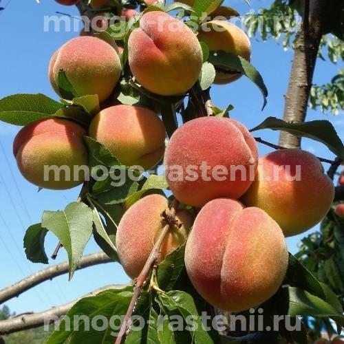 Персик Бархатный