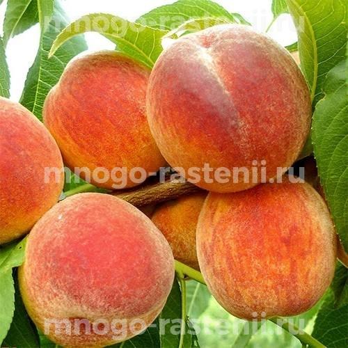 Персик Биг Хани