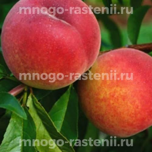 Персик обыкновенный Инка