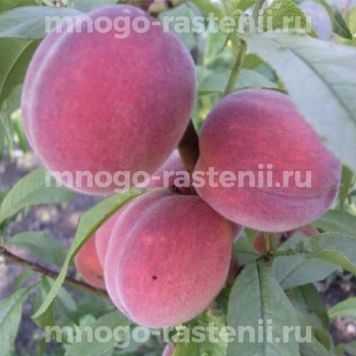 Персик обыкновенный Киевский ранний