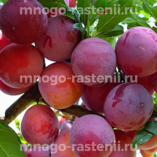 Алыча Рубиновая