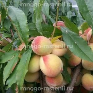 Персик Донецкий ранний