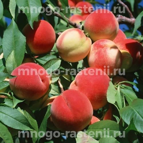 Персик Краснощекий