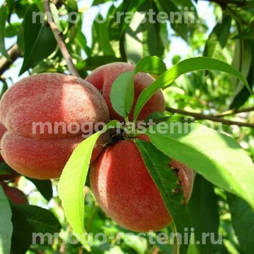 Персик Майский цветок