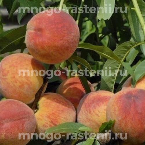Персик Московский карлик