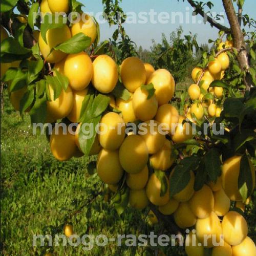 Слива Афаска желтая