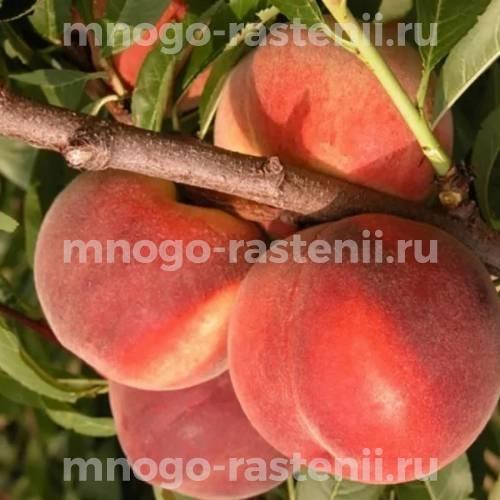 Персик Клокред