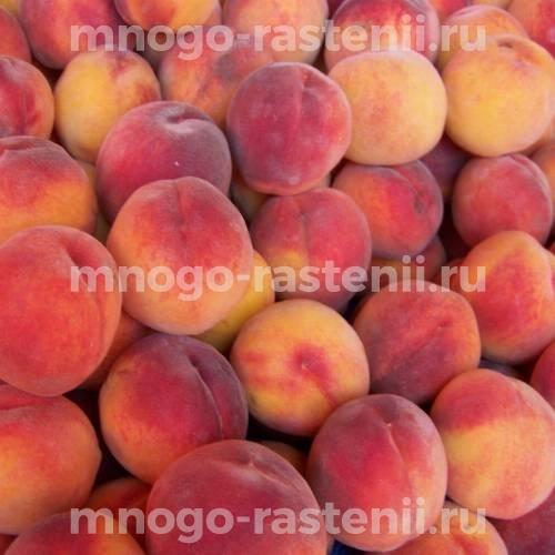 Персик Ставропольский розовый