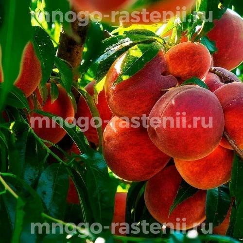 Персик Медовая сладость