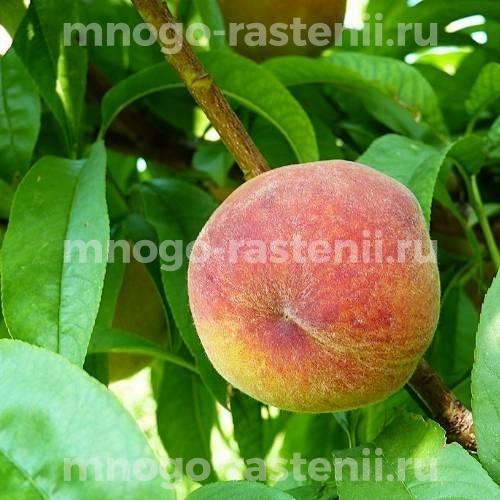 Саженцы персика Дикрас