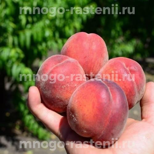 Персик Спринголд