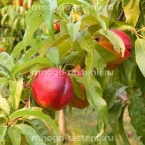 Персик Дагестанский золотой
