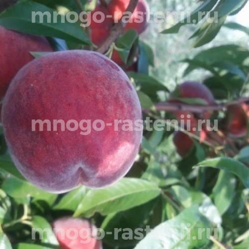 Персик Рубиновый принц