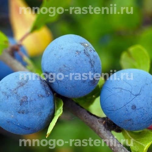 Слива Яичная синяя