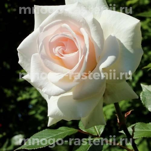 Роза Сван Лейк