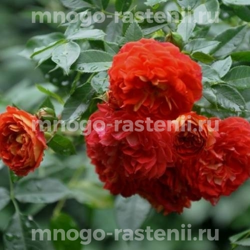 Роза Старлет Роуз Кармен