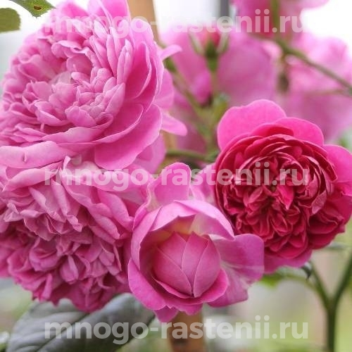 Роза Старлет Роуз Мелина