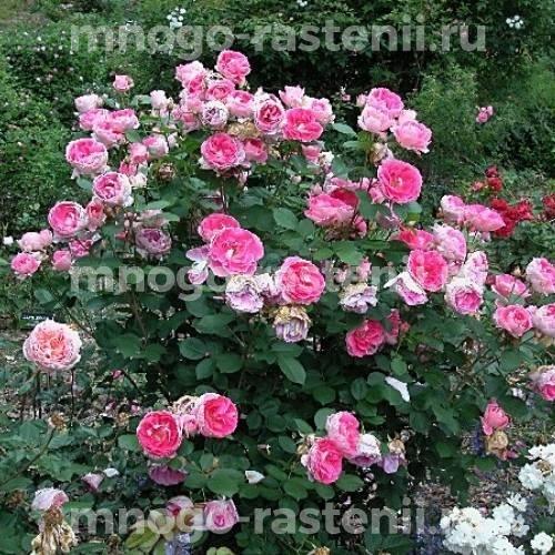 Роза Мистер Вондер