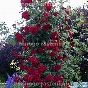 Роза Клайминг Крайслер Империал