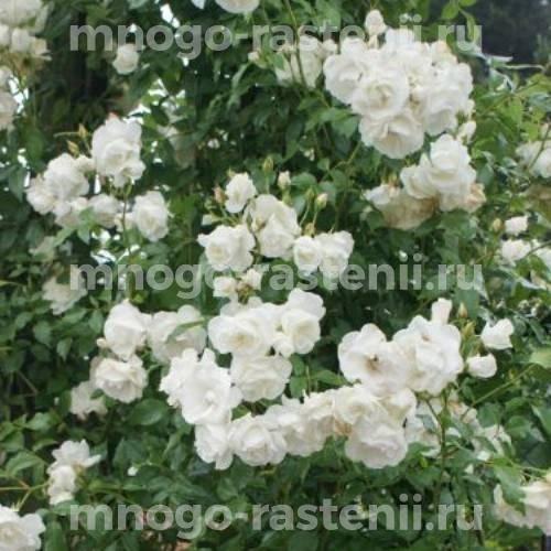 Роза Сноу Принцесс