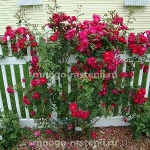 Роза канадская Генри Келси