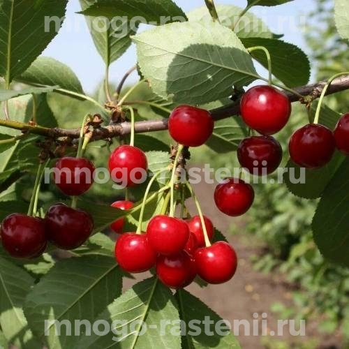 Чудо вишня (дюк) Ивановна