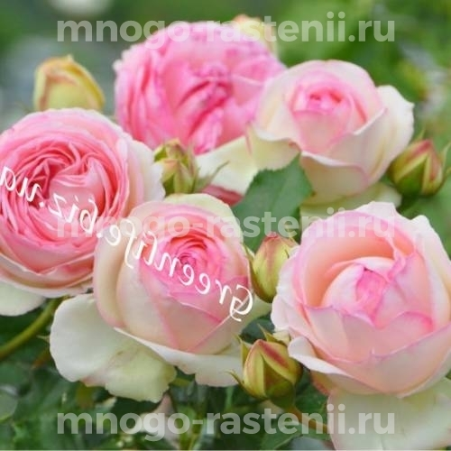 Роза Пьер де Ронсар (Pierre de Ronsard)